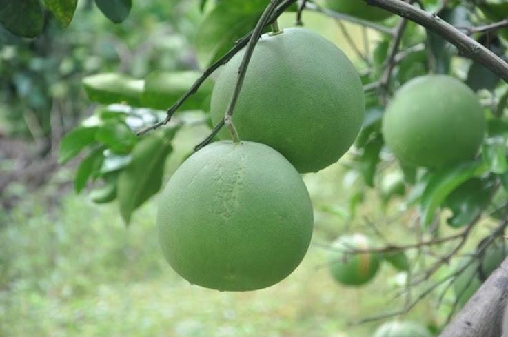 bibit jeruk bali Aceh