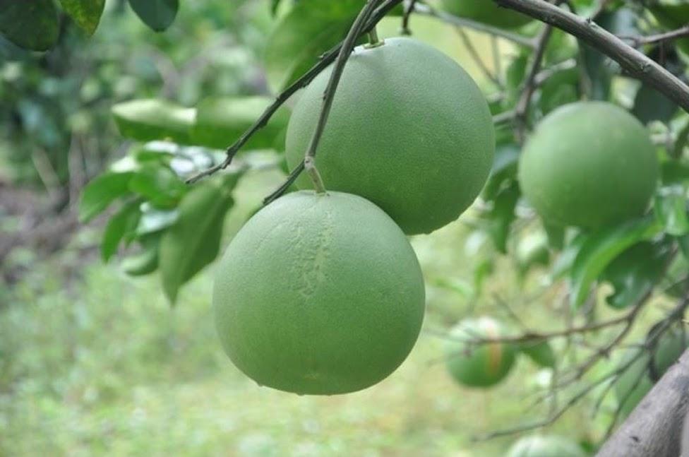 bibit jeruk bali Jawa Tengah