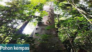 pohon kempas