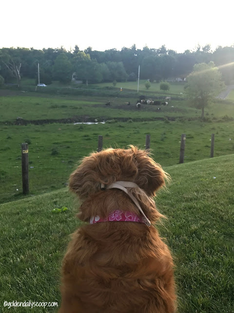 golden retriever dog watching cows #wordlesswednesday