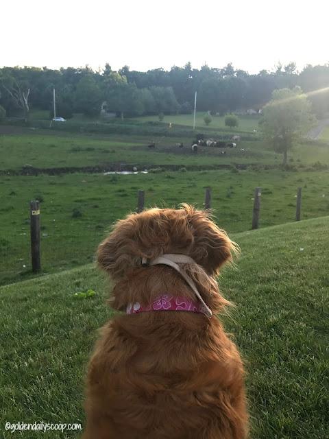golden retriever dog watching cows #wordlesswednesday