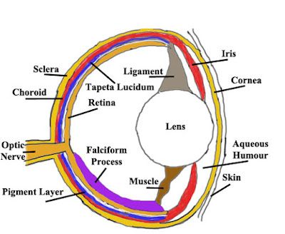 anatomi dan struktur mata pisces