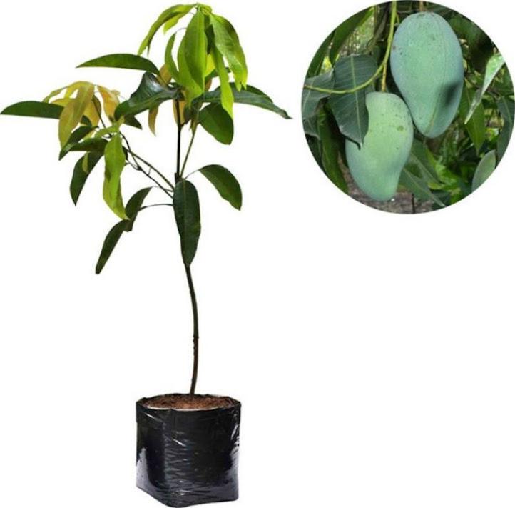 Bibit tanaman mangga gadung cepat berbuah Sulawesi Selatan