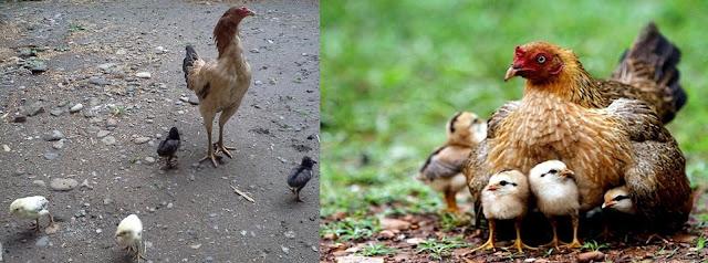 Anda pernah melihat anak ayam dan induknya di malam hari. Semua anak ayam   merapat pada badan induknya dan didekap oleh sayapnya. Itulah contoh sentralisasi. Perhatikan anak ayam tersebut pada siang hari. Anak-anak ayam tersebut menjauh dari induknya mencari makan sendiri-sendiri, tetapi masih diawasi oleh induknya dari jarak tertentu. Nah, itulah contoh perbedaan desentralisasi.