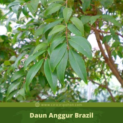 Ciri Ciri Daun Anggur Brazil