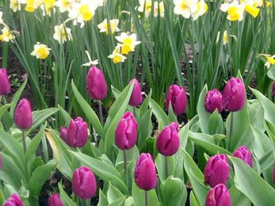 tulipanes y narcisos
