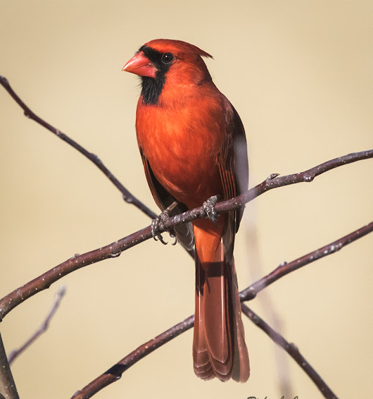 Northern Cardinal Profile