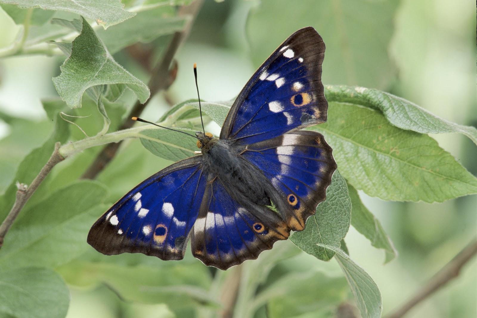 Avenger blog: Purple Butterfly