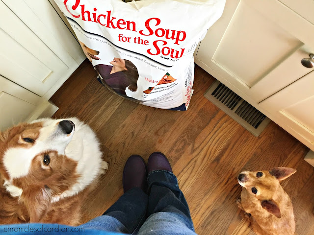 Chihuahua and red corgi looking up toward person taking photo (not pictured), with large bag of Chicken Soup for the Soul dog food