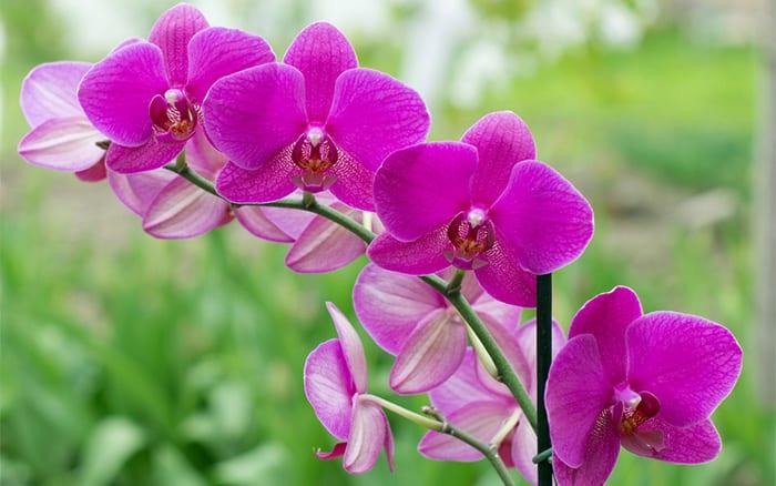 Orkidelerin Çiçekleri Neden Dökülür?