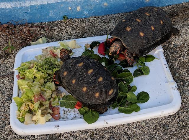 Tortoise Spotlight One: Archie Tortoise