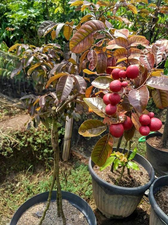 Bibit tanaman klengkeng merah super cepat berbuah hasil okulasi sambung pucuk Jakarta