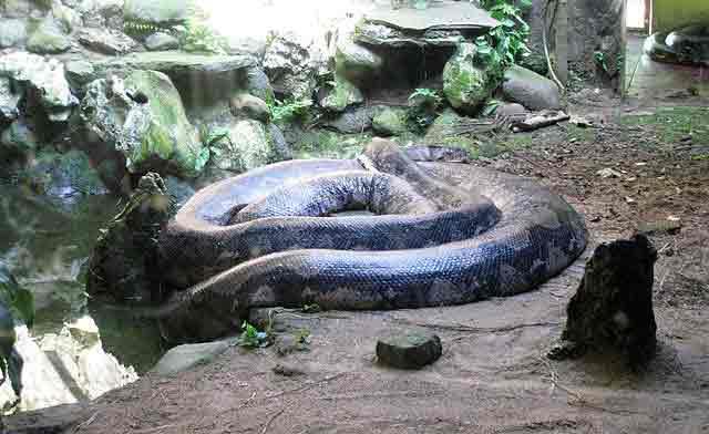 ular terbesar di dunia di kalimantan