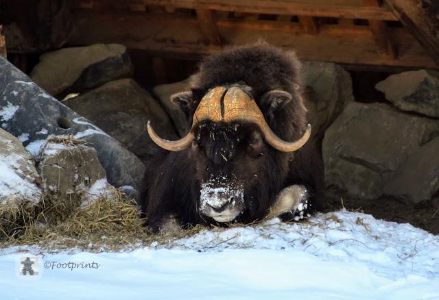 Hier ist die Unterkunft fuer die Moschusochsen, die in den arktischen Tundren in Alaska und Kanada zu Hause sind.