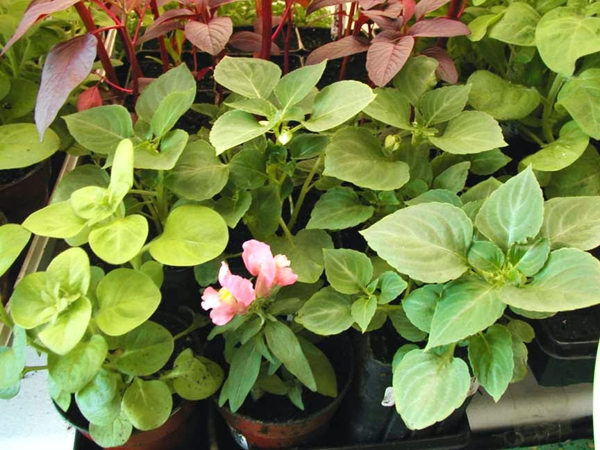 How To Grow Impatiens From Seed