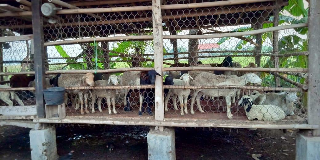 Pencuri Gorok 8 Kambing Milik Jamhari Di Kandang
