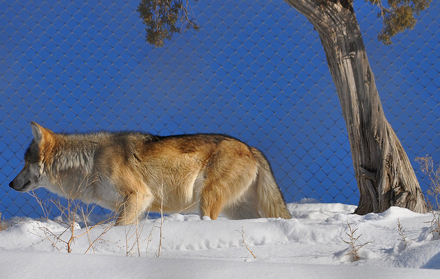 White Wolf : The Navajo Nation Zoo: Part Animal E R , but