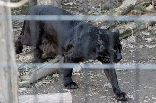 Panthera pardus var