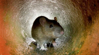 CDC warnings of 'unusual or aggressive rodent behavior' in search of new food sources