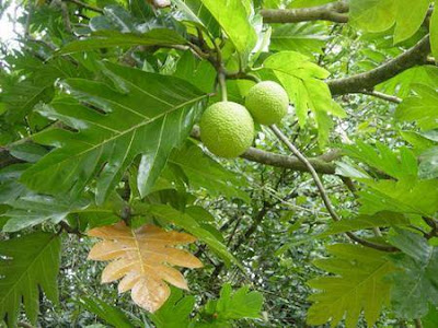 Cây và trái sa kê