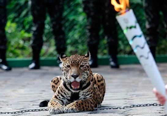 Onça Juma, a mártir de uma Olimpíada que o Brasil não precisava
