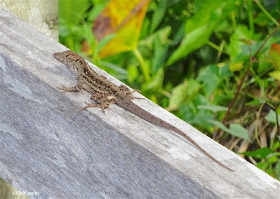 lizard, south Florida
