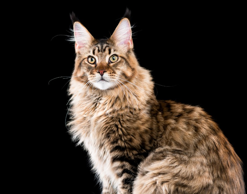 Mengenal Kucing Maine Coon Si Gentle Giant Yang Menawan Ruberuky The Cat World