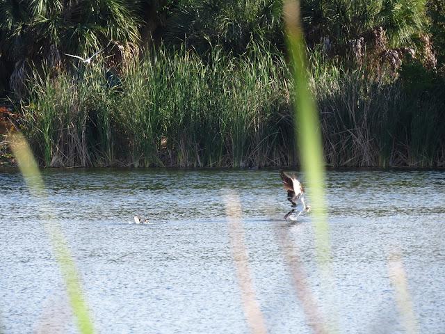 Osprey - Tierra Verde, Florida