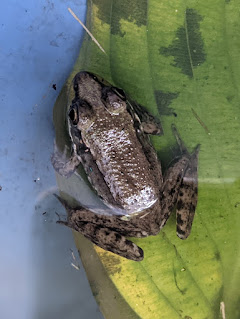 Frogs, Woodbury, Sandy Carlson, Sandy Lee Carlson