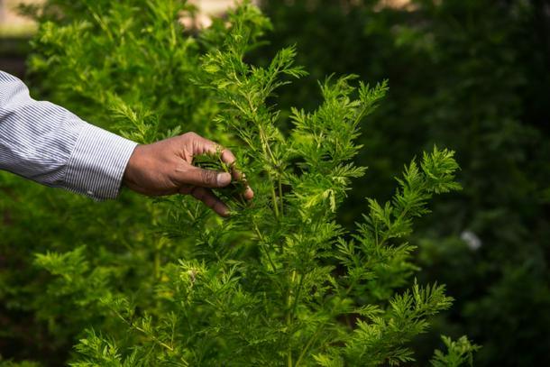 El 'oro verde' de Madagascar contra COVID-19 busca asentir más allá de África