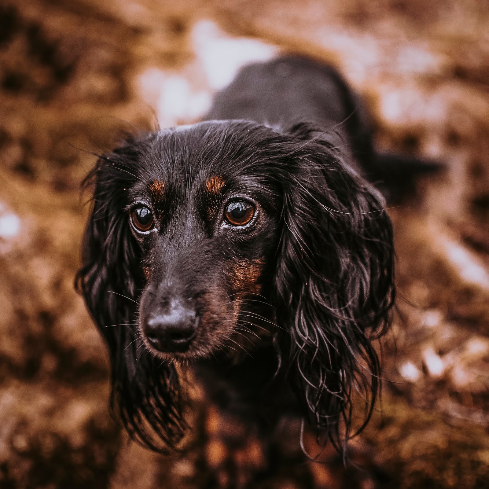 puppy dog eyes dachshund puppy autumn leaves liquid grain liquidgrain
