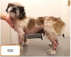 tratamento de pele em cães