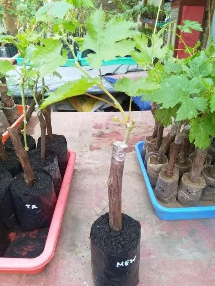 bibit anggur import new baikonur genjah Jawa Timur