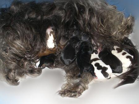 Tibet Terrier Chiru wenige Tage alt - Hundeblog