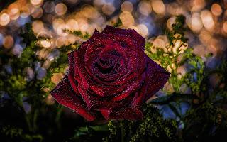ورد جوري احمر جميلة
