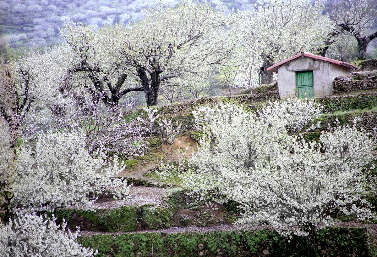 Primavera y cerezo en flor en el valle del jerte for Oficina de turismo valle del jerte