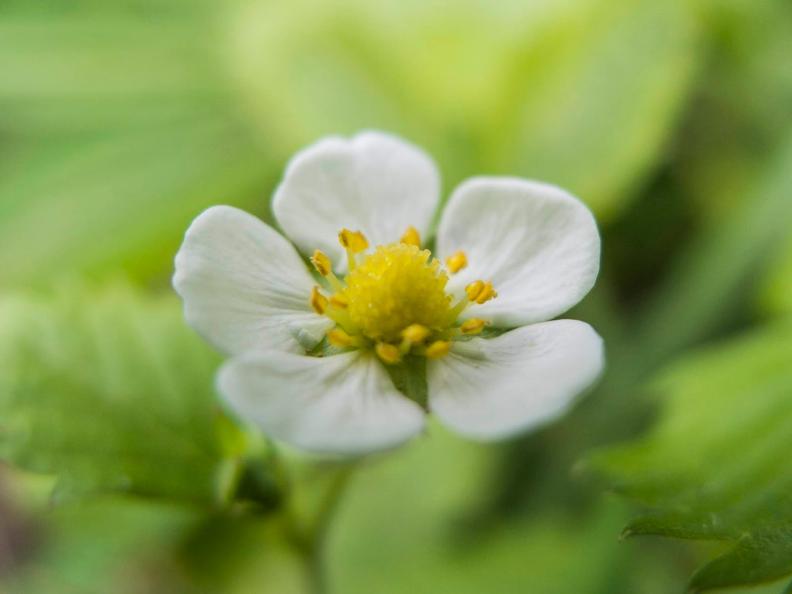 A macro of a Strawberry flower with five white petals and a yellow centre.