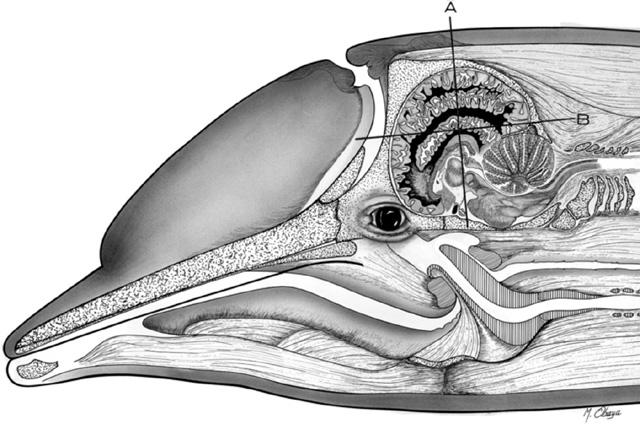 Ikan Lumba - lumba tidur dengan setengah otak bekerja