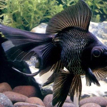 Ikan Mas Koki : Ciri-ciri, Jenis dan Harga