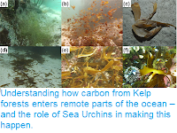 https://sciencythoughts.blogspot.com/2019/01/understanding-how-carbon-from-kelp.html