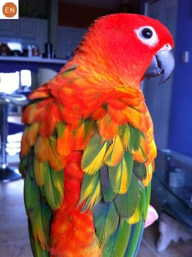 Sun Conure (Aratinga solstitialis) | Our World's 10 Beautiful and Colorful Birds