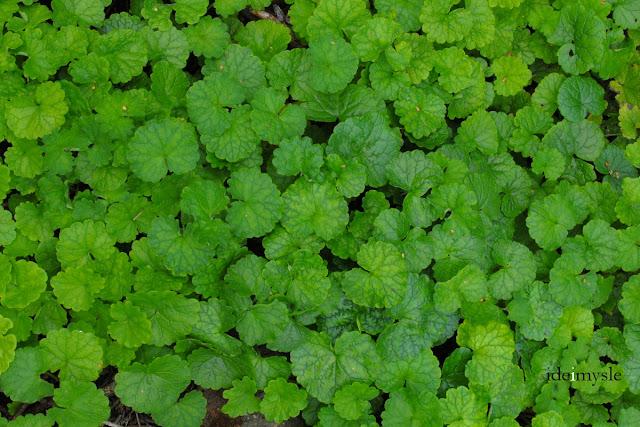bluszczyk kurdybanek, glechoma hederacea, jadalne chwasty, dzikie rośliny jadalne, dzikie przyprawy, zioła lecznicze, ground-ivy