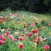 Ein Blumenjahr - Vom Hügel - Juli/August