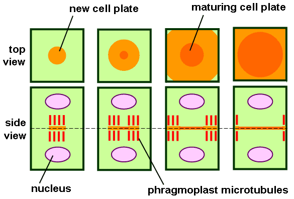 Bio Geo Nerd: Mitosis