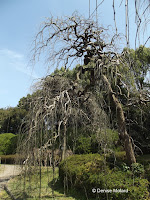 Pagoda tree - Kyoto Botanical Gardens, Japan