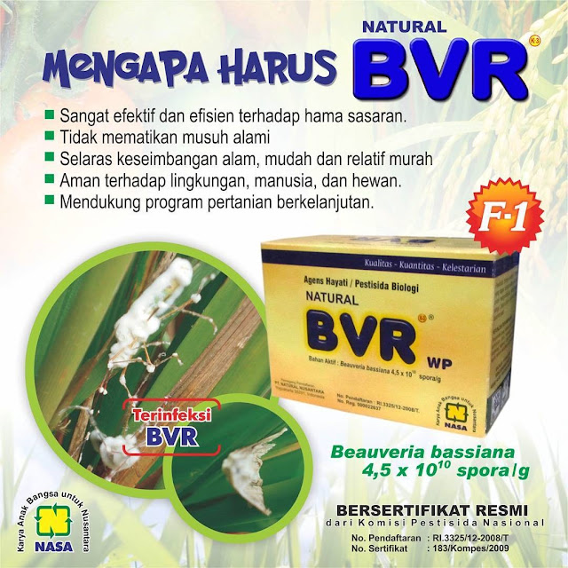 Natural BVR - Agensia Hayati Beauveria Bassiana Untuk Mengatasi Wereng, Penggerek Batang, Kutu Daun dan Lain Lain