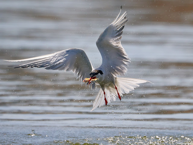 Tern Caught a Fish