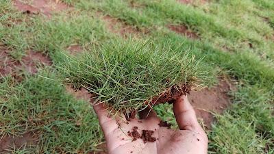 Jual Rumput Jepang di Pakan Sari  Pemda Cibinong - SuryaTaman