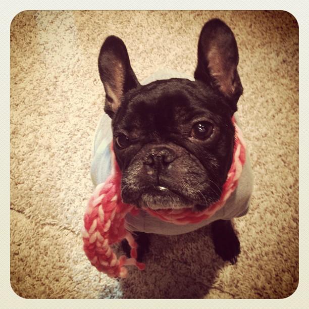 french bulldog in a scarf