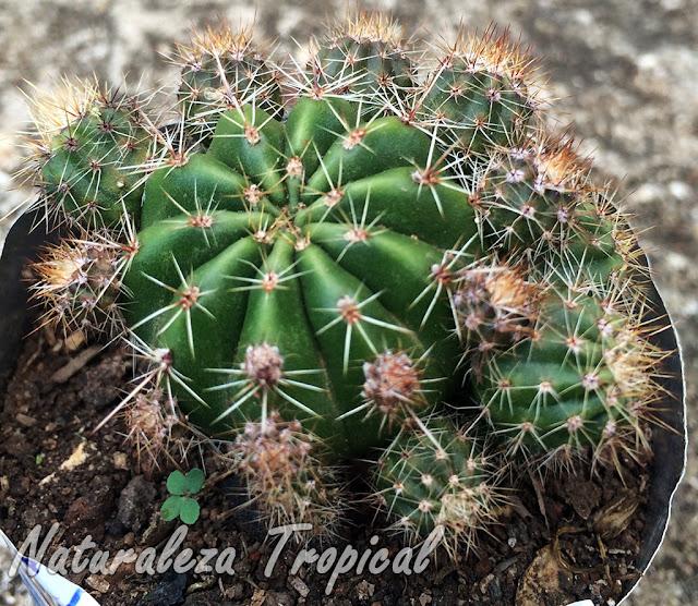 Echinopsis oxygona lleno de hijuelos
